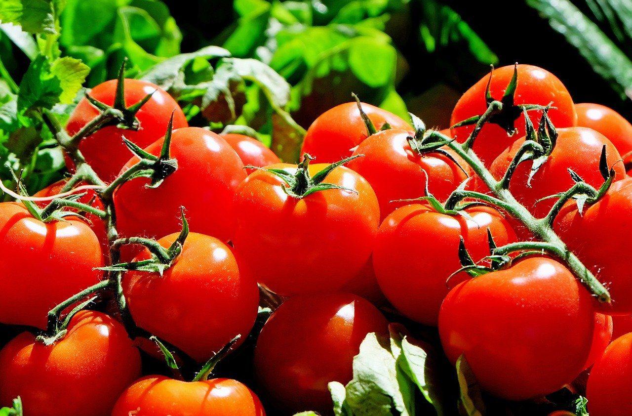 Il pomodoro, storia del re dell'estate
